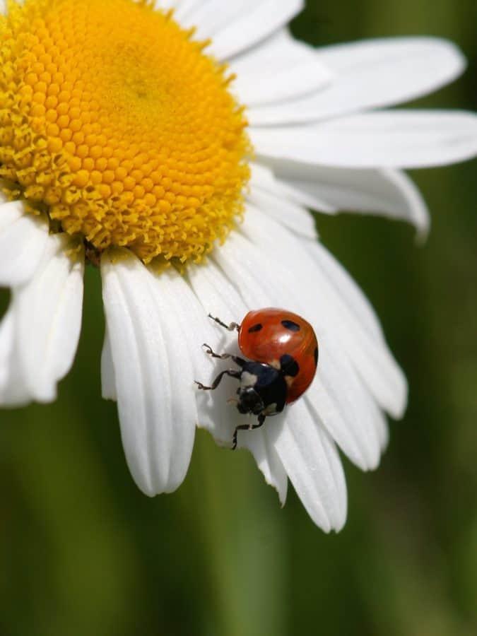 Image libre Beetle t coccinelle nature flore insecte plante fleur