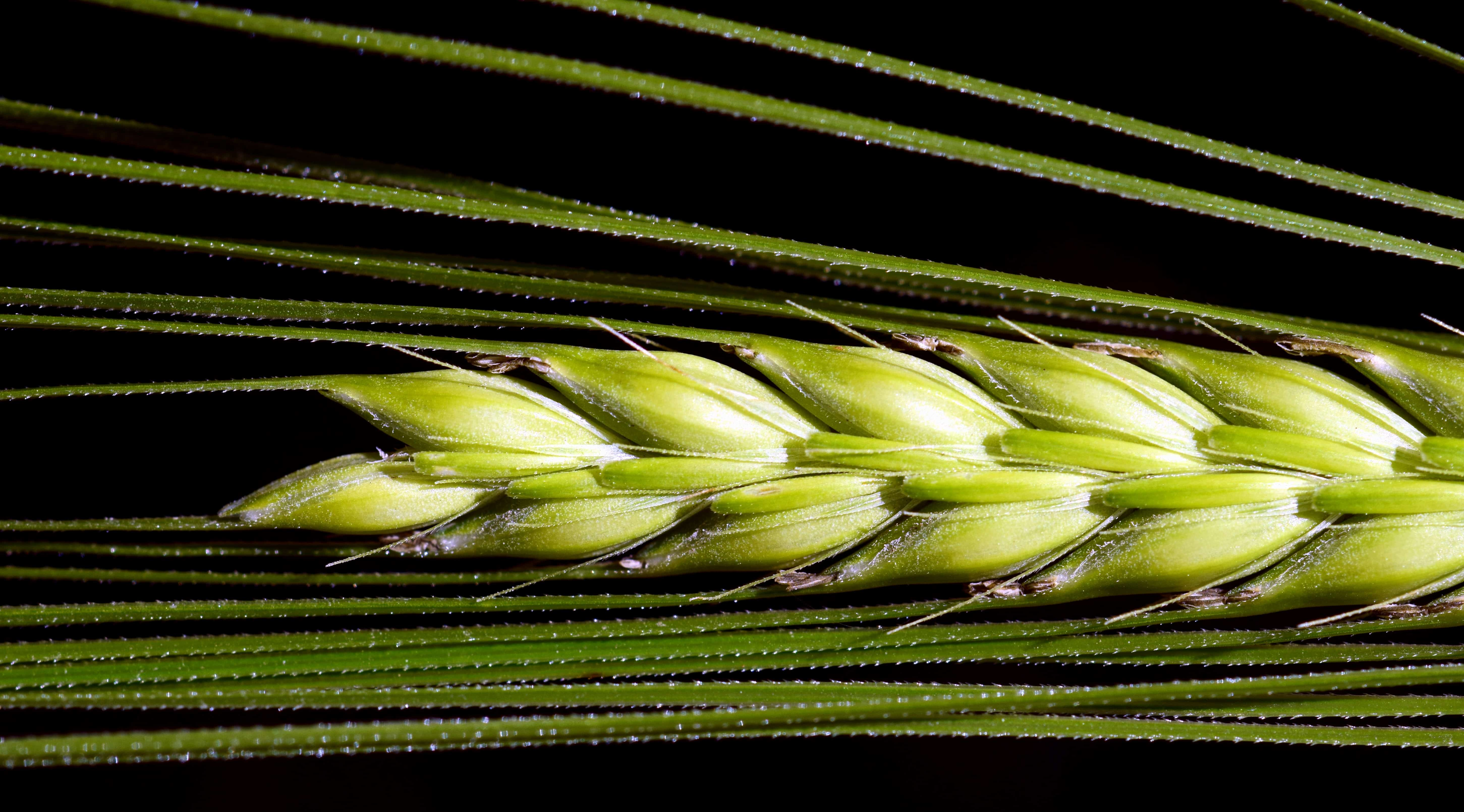 Free picture flora food summer grain plant macro detaill agriculture grain