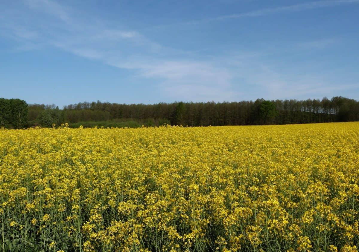 Foto gratis paesaggio campo agricoltura semi oleosi