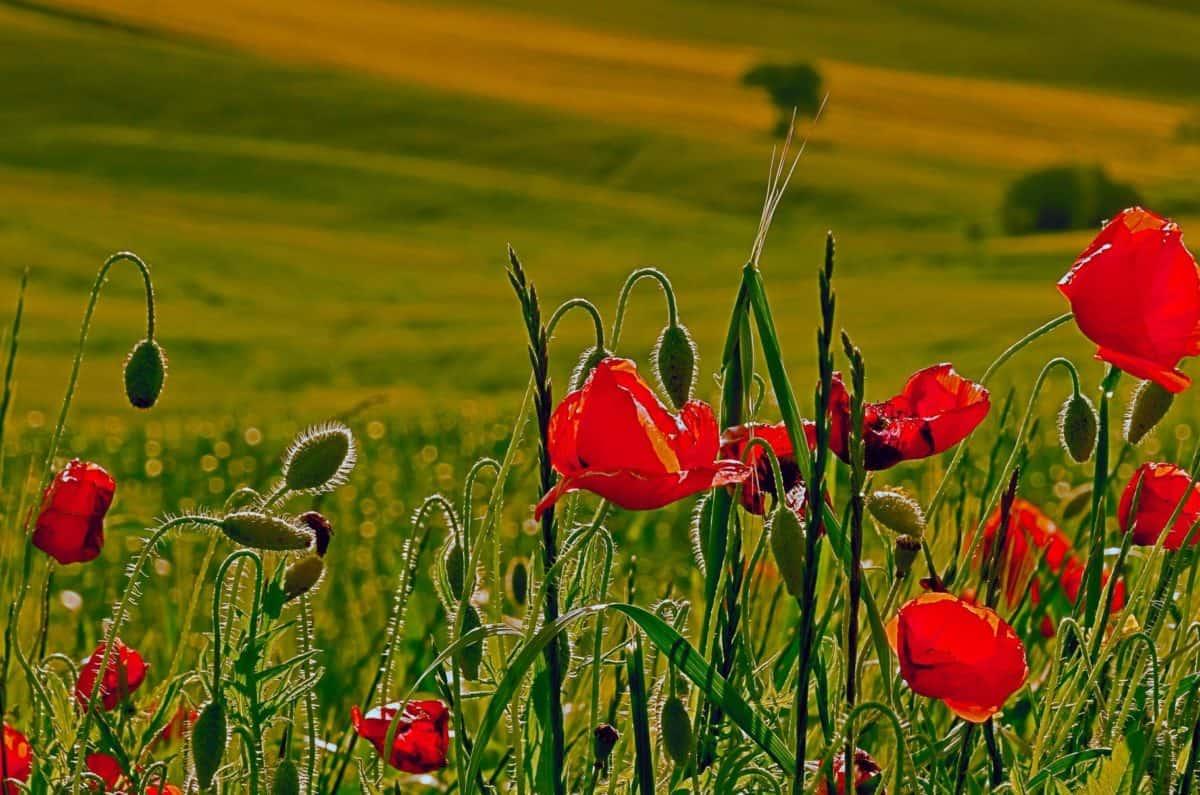 Image libre lt du pavot  opium flore champ fleurs nature herbe jardin