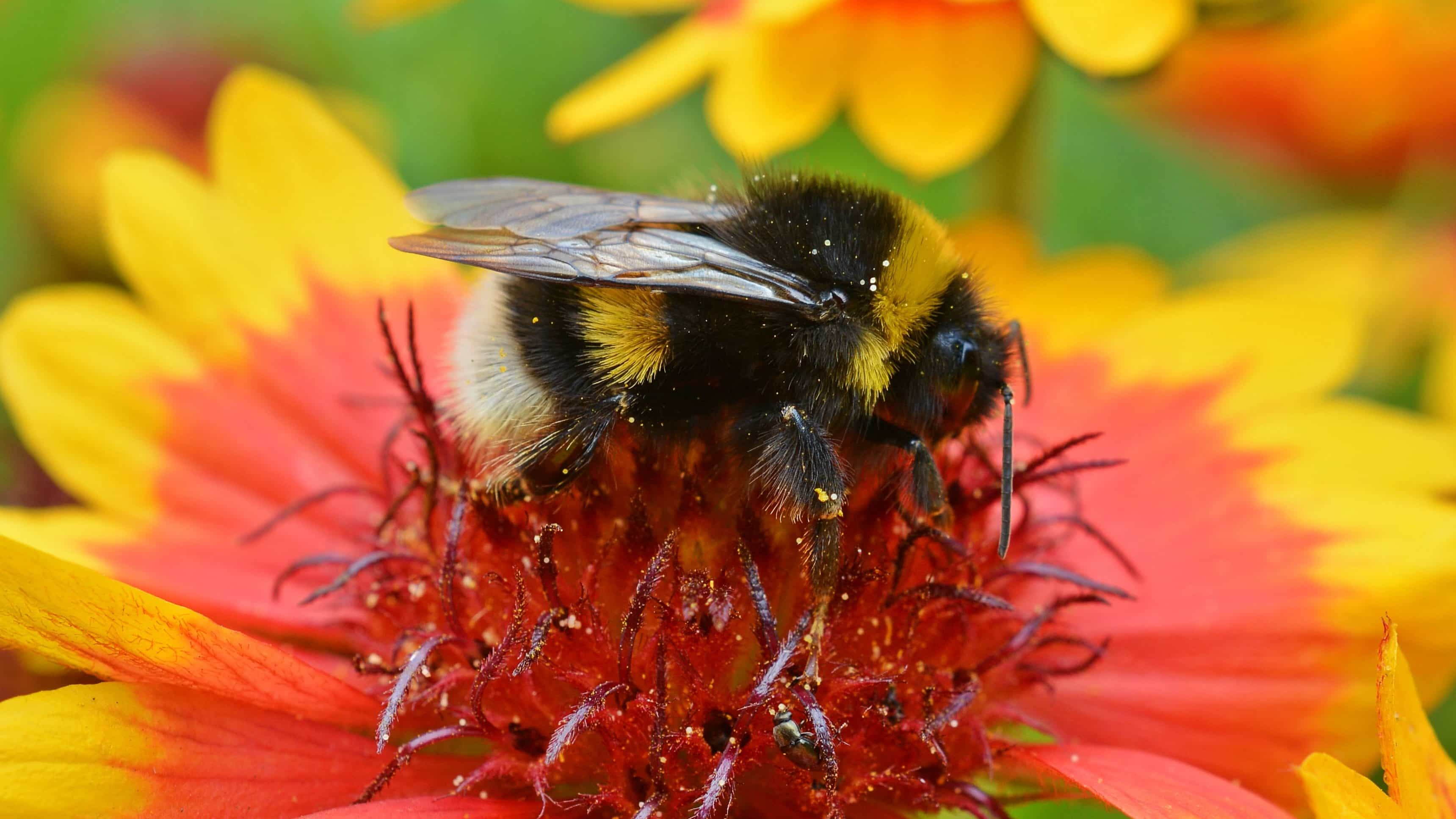 Free Picture Flower Bumblebee Insect Pollen Nature