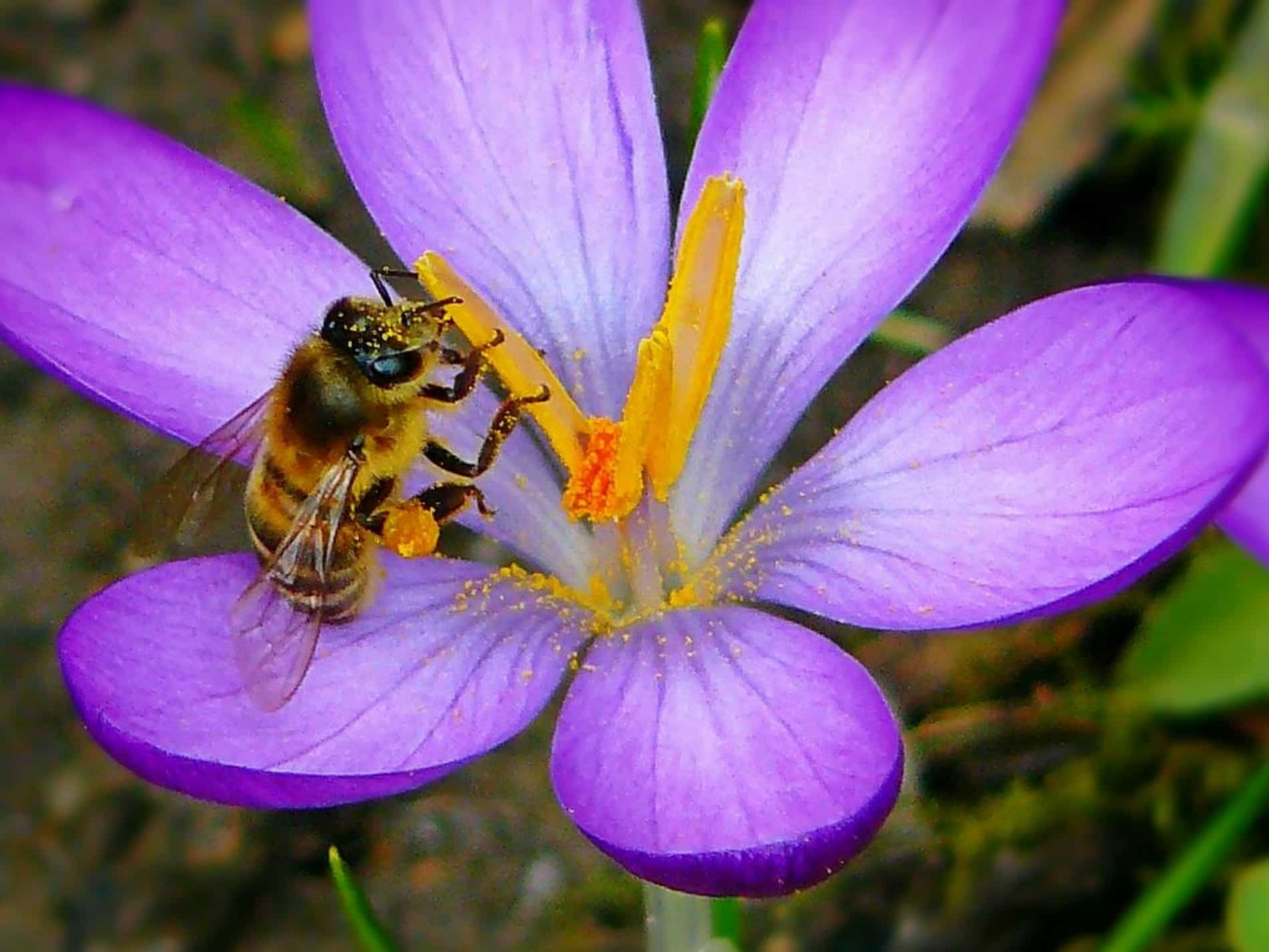 Free picture summer bee flora insect pollen nature