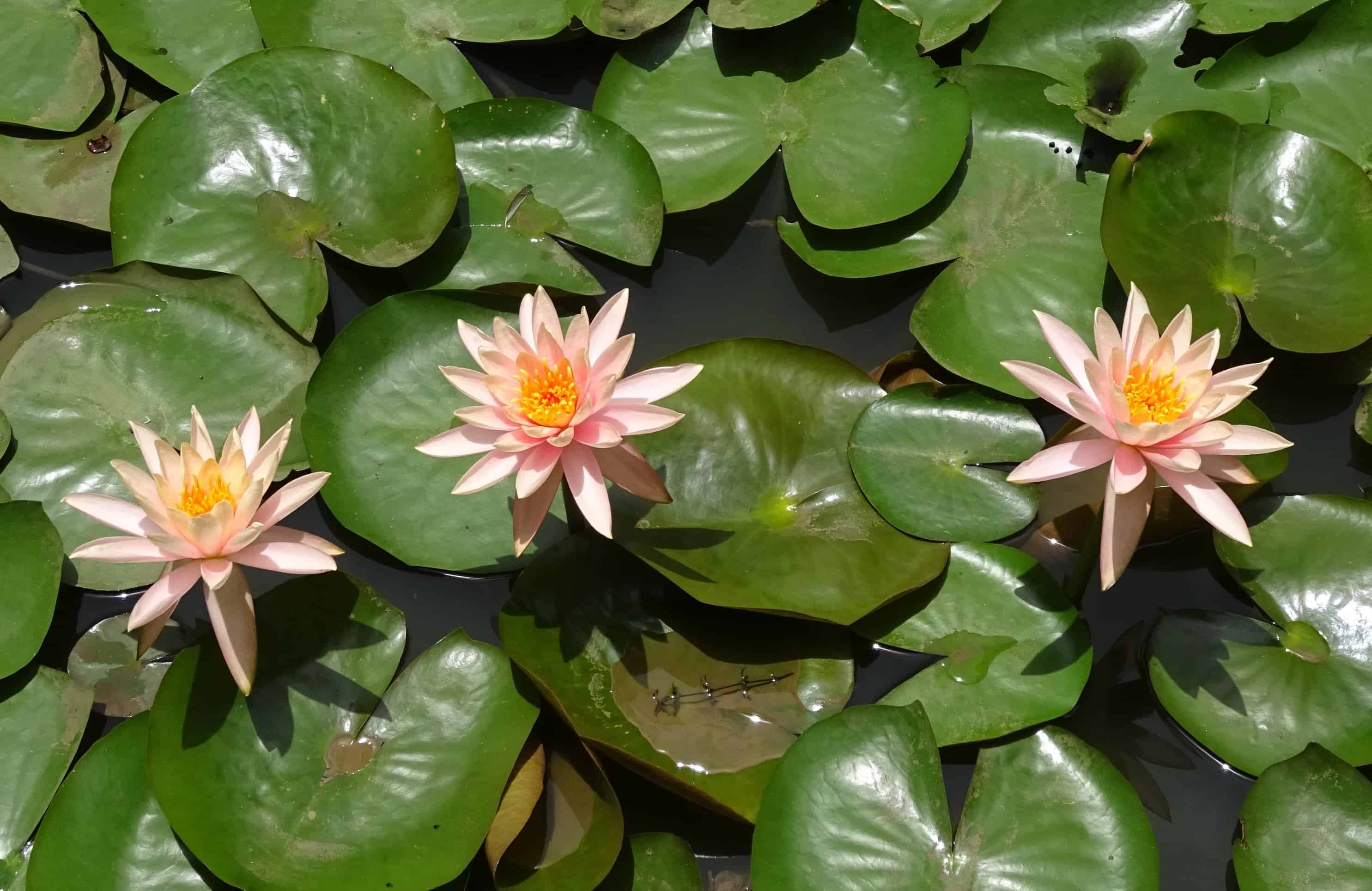 Free Picture Flora Exotic Nature Ecology White Lotus