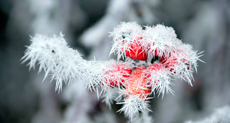 300 Wallpaper Hd Kostenlose Bild Hagebutte Natur Frost Schneeflocke