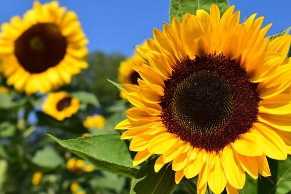 Hd Desktop Wallpaper Quotes Free Picture Sunflower Blue Sky Daylight Flower Field