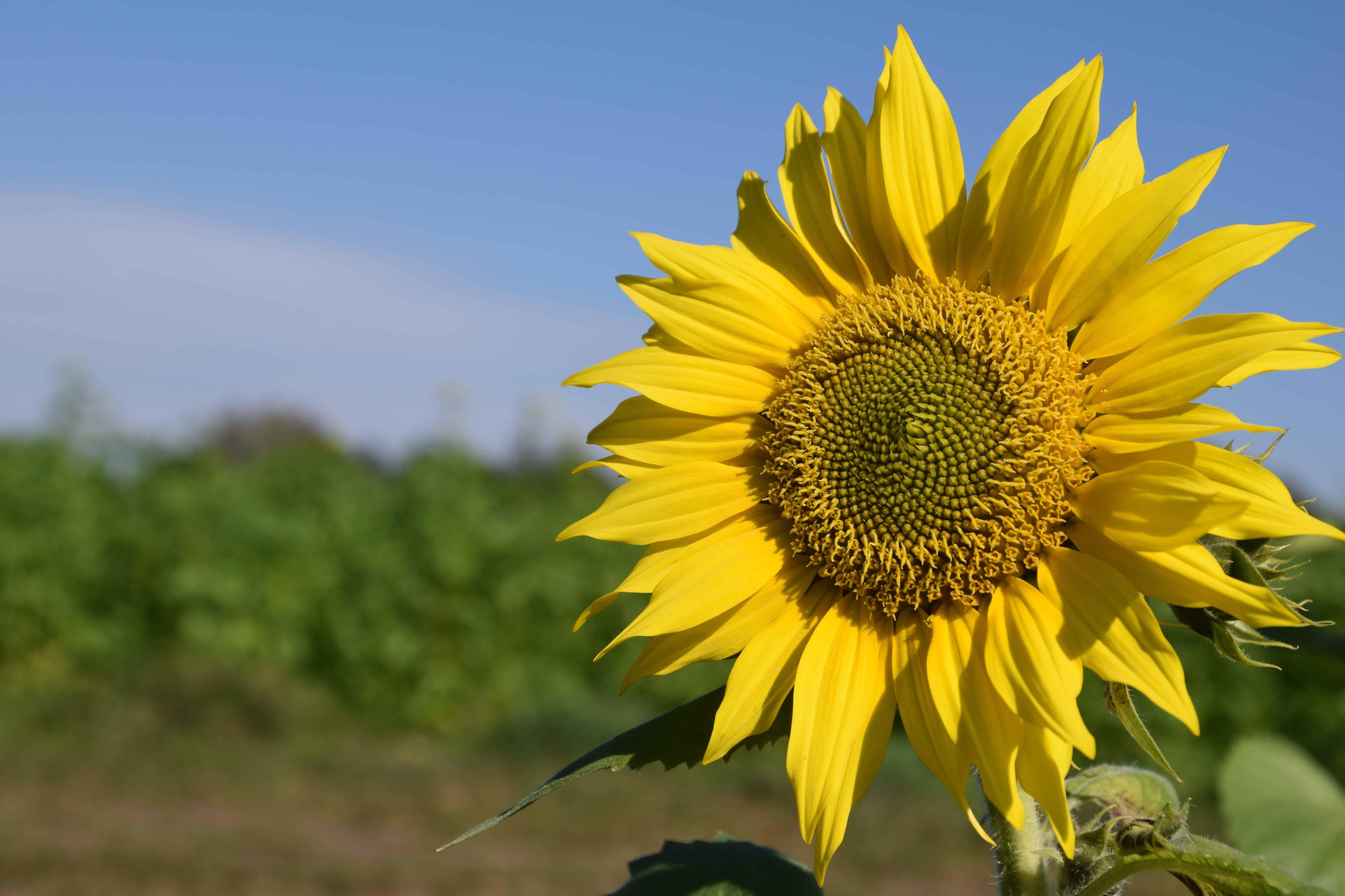 Free Picture Plant Sunflower Flower Blue Sky Field