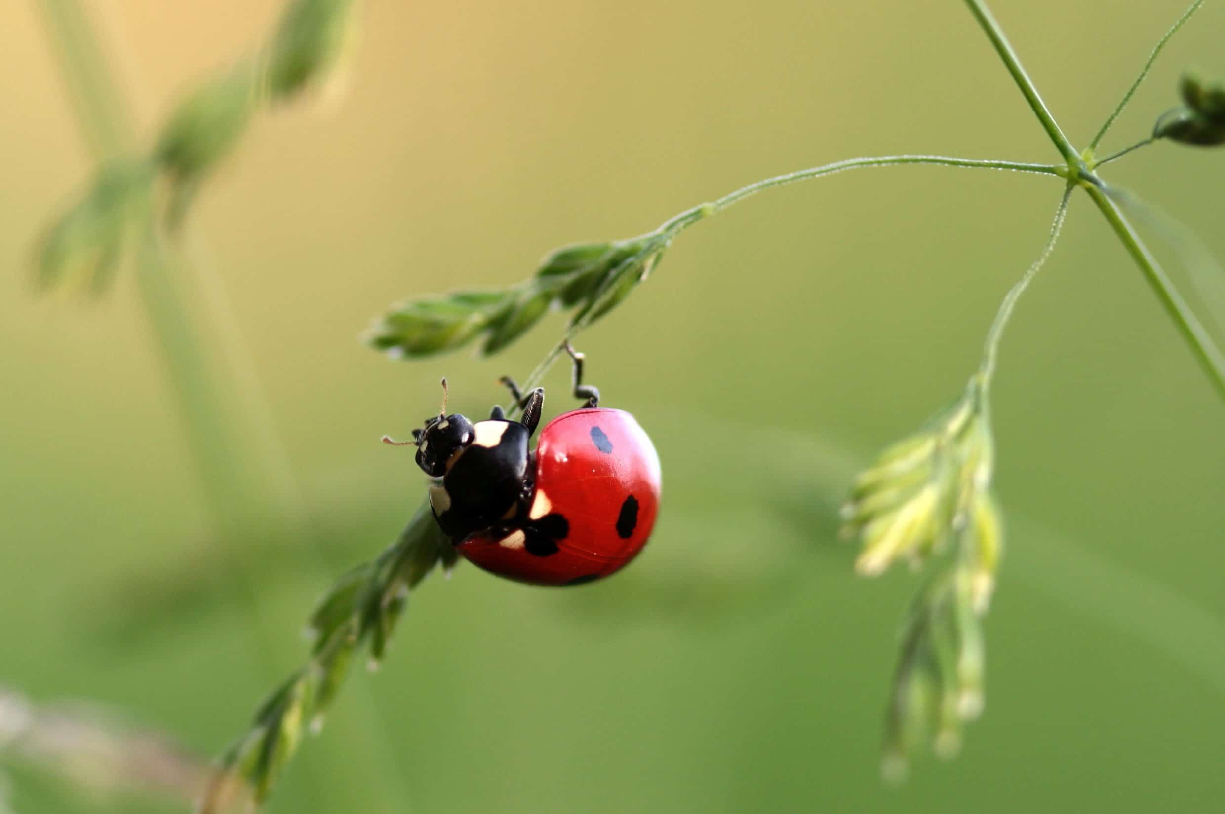 Free Picture Insect Beetle Nature Ladybug Green Leaf