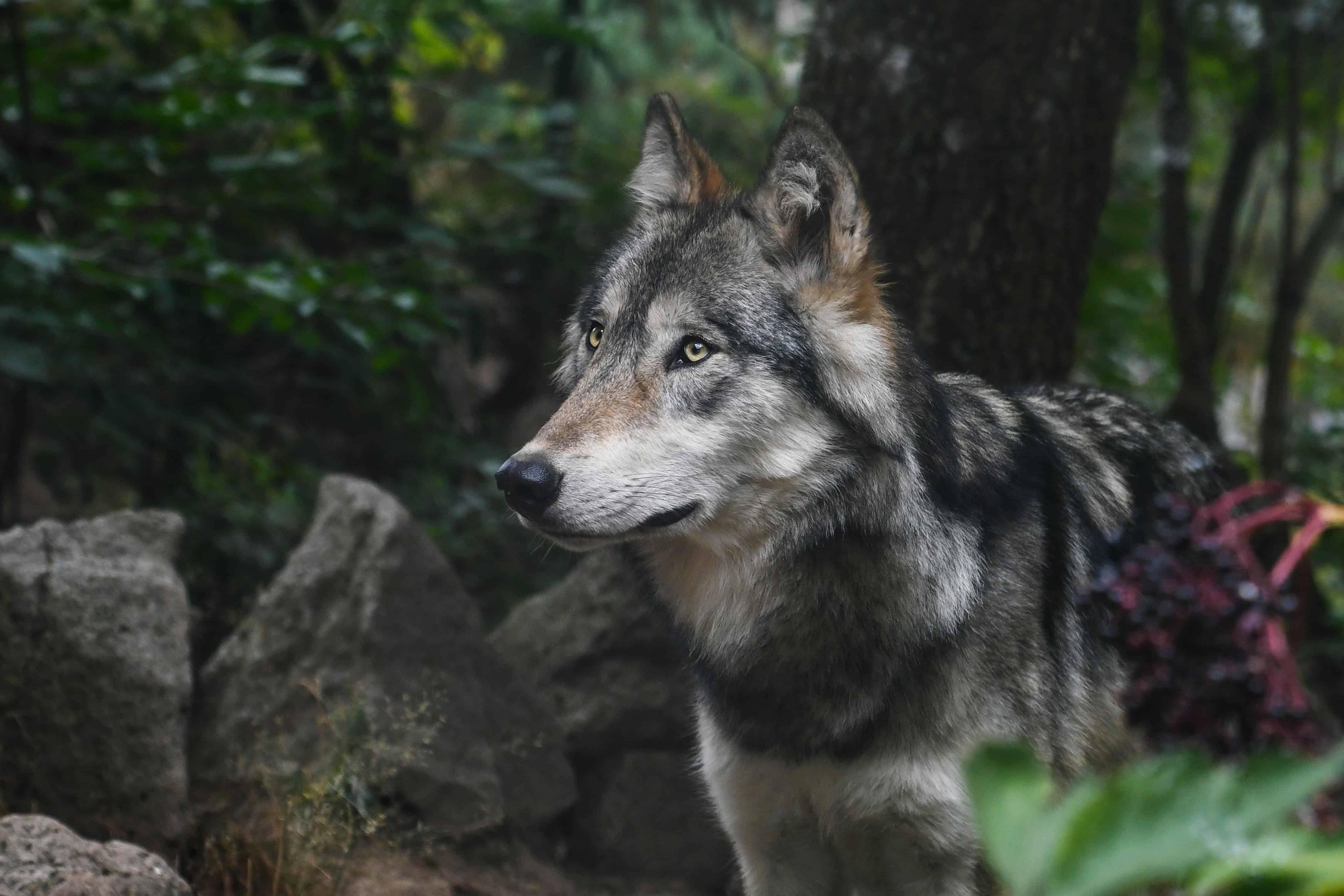 Animal Face Wallpaper Image Libre Predator Loup De La For 234 T Nature Animal