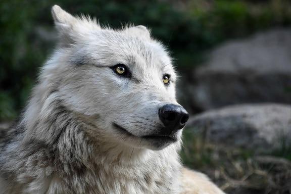 Animal Print Wallpaper Hd Free Picture White Wolf Profile Portrait Portrait