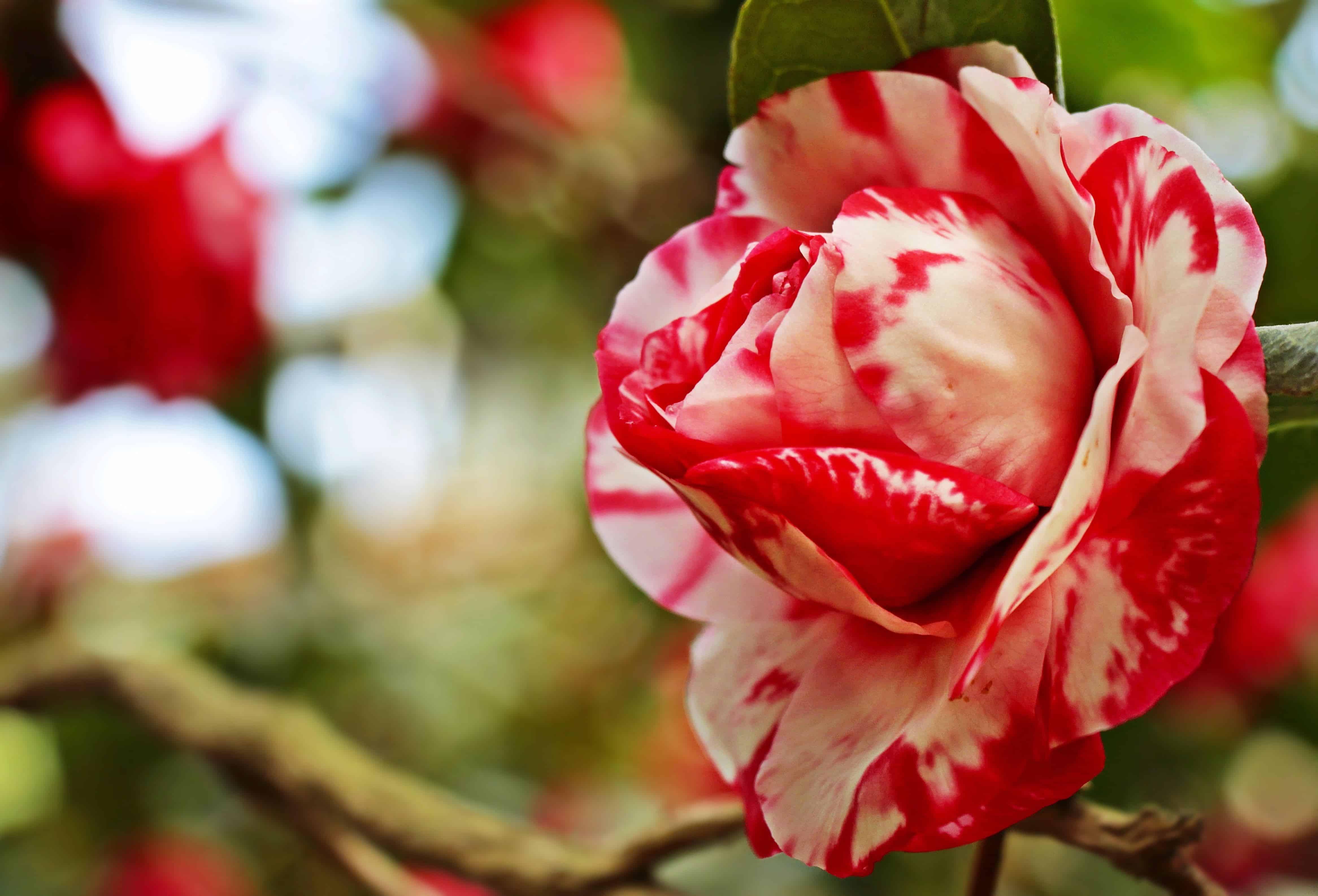 Gambar gratis sifat bunga daun bunga mawar merah