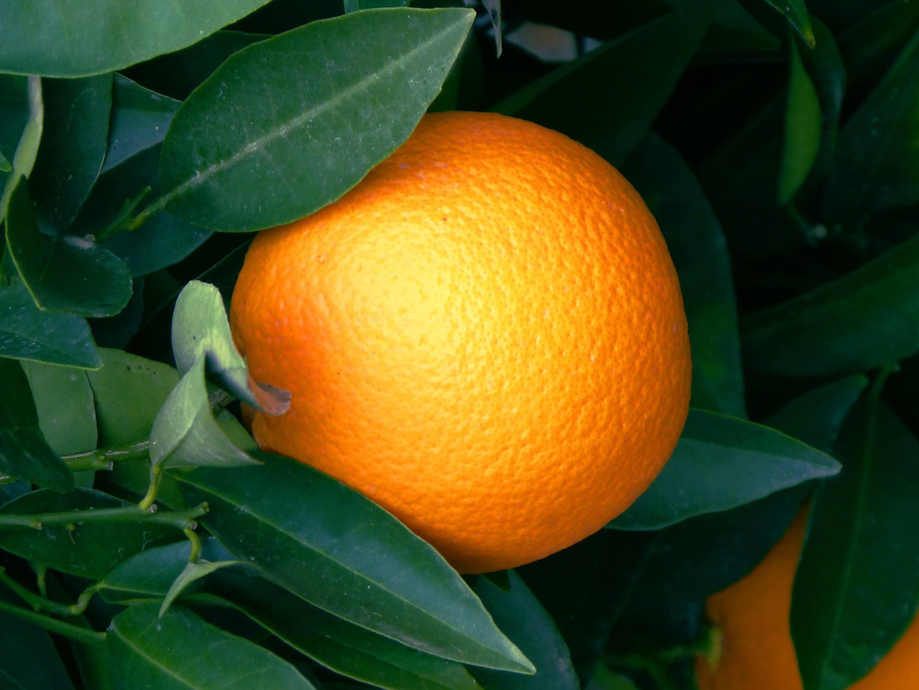 Free picture: orange fruit, leaf, food, citrus, mandarin, tangerine, vitamin, shadow, organic
