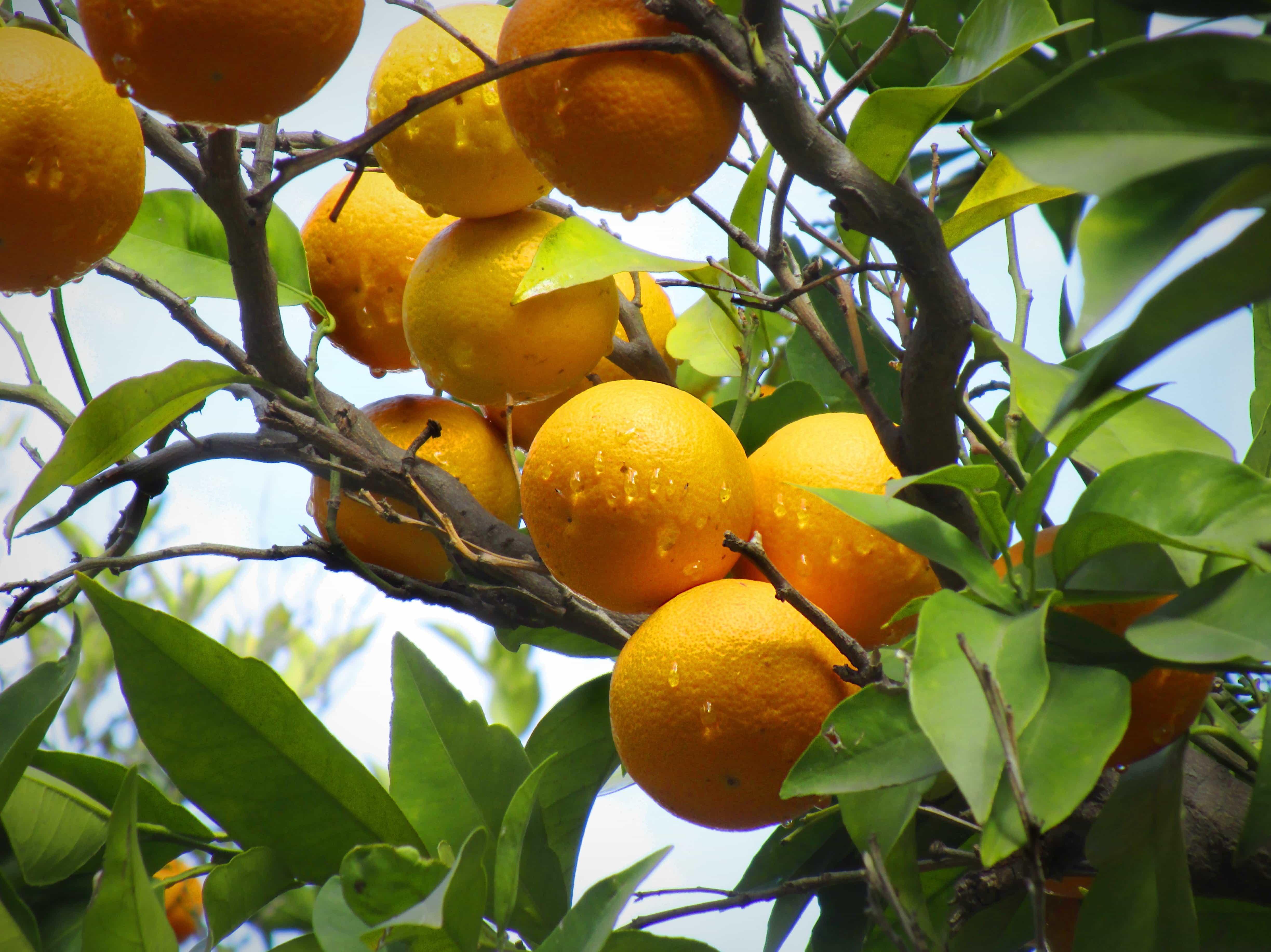 Free picture: citrus, branch, nature, leaf, food, organic, orange tree, rain, tropical fruit