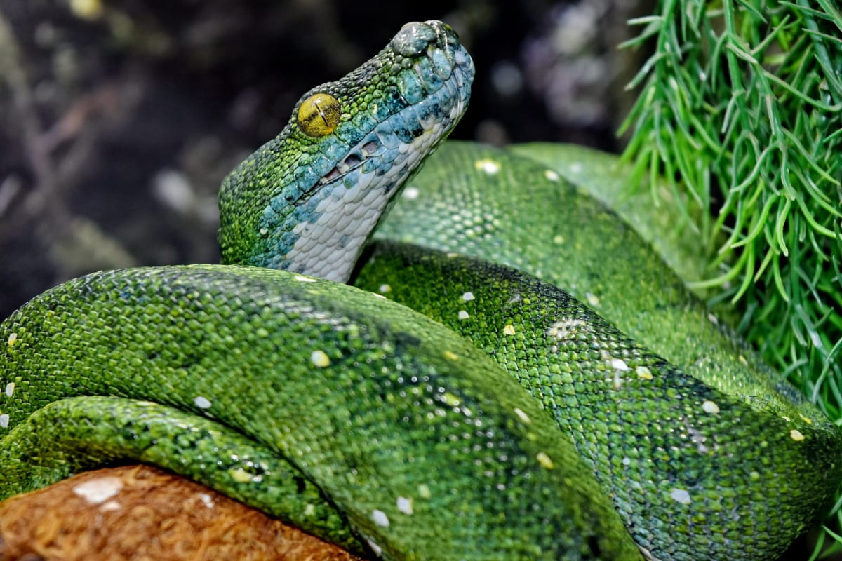 Free Picture Exotic Green Snake Python Rainforest