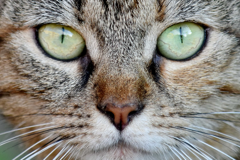 free picture domestic cat