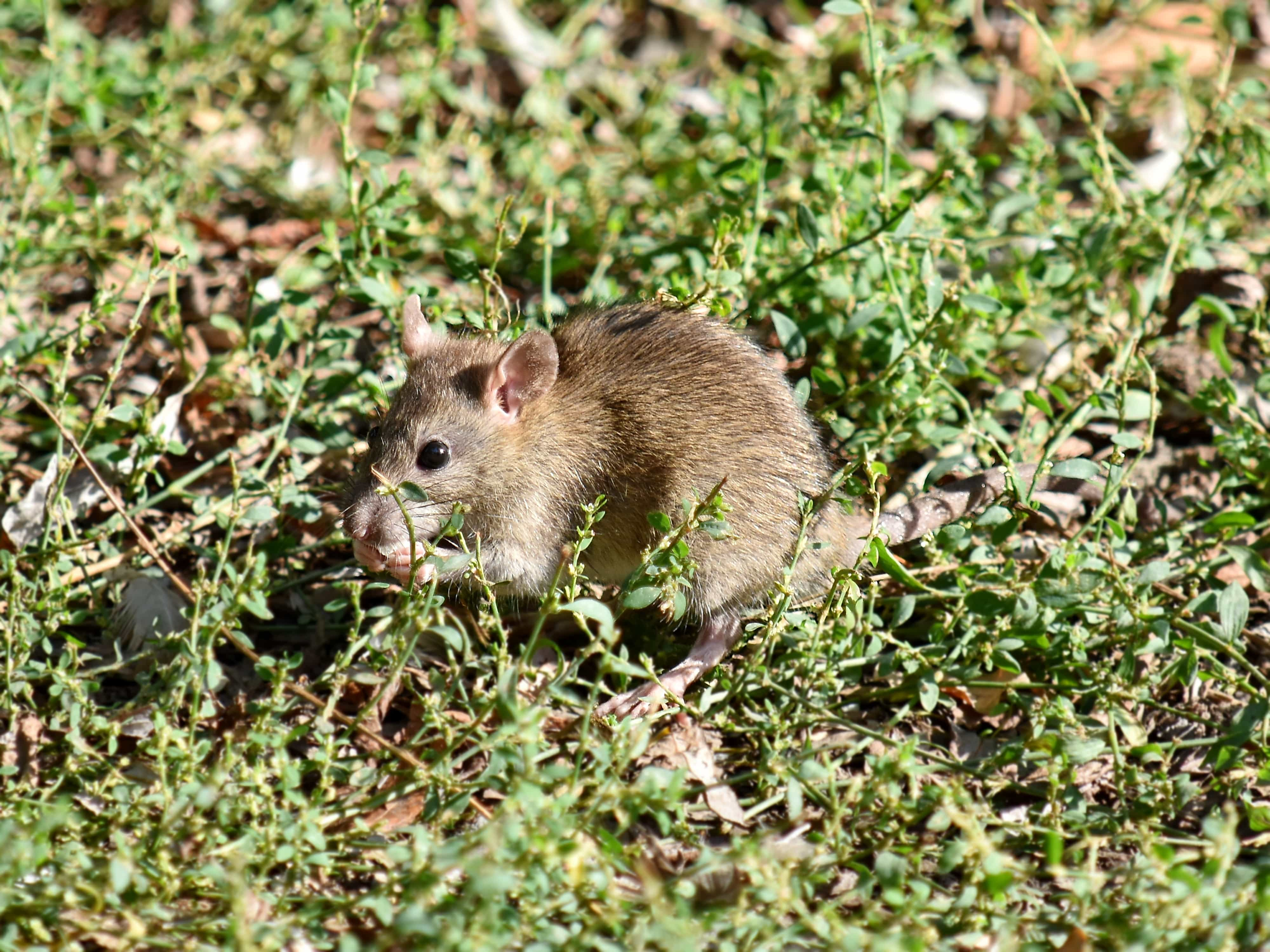 Free picture: mouse, wild, rodent, nature, wildlife, animal, grass, outdoors, fur, cute