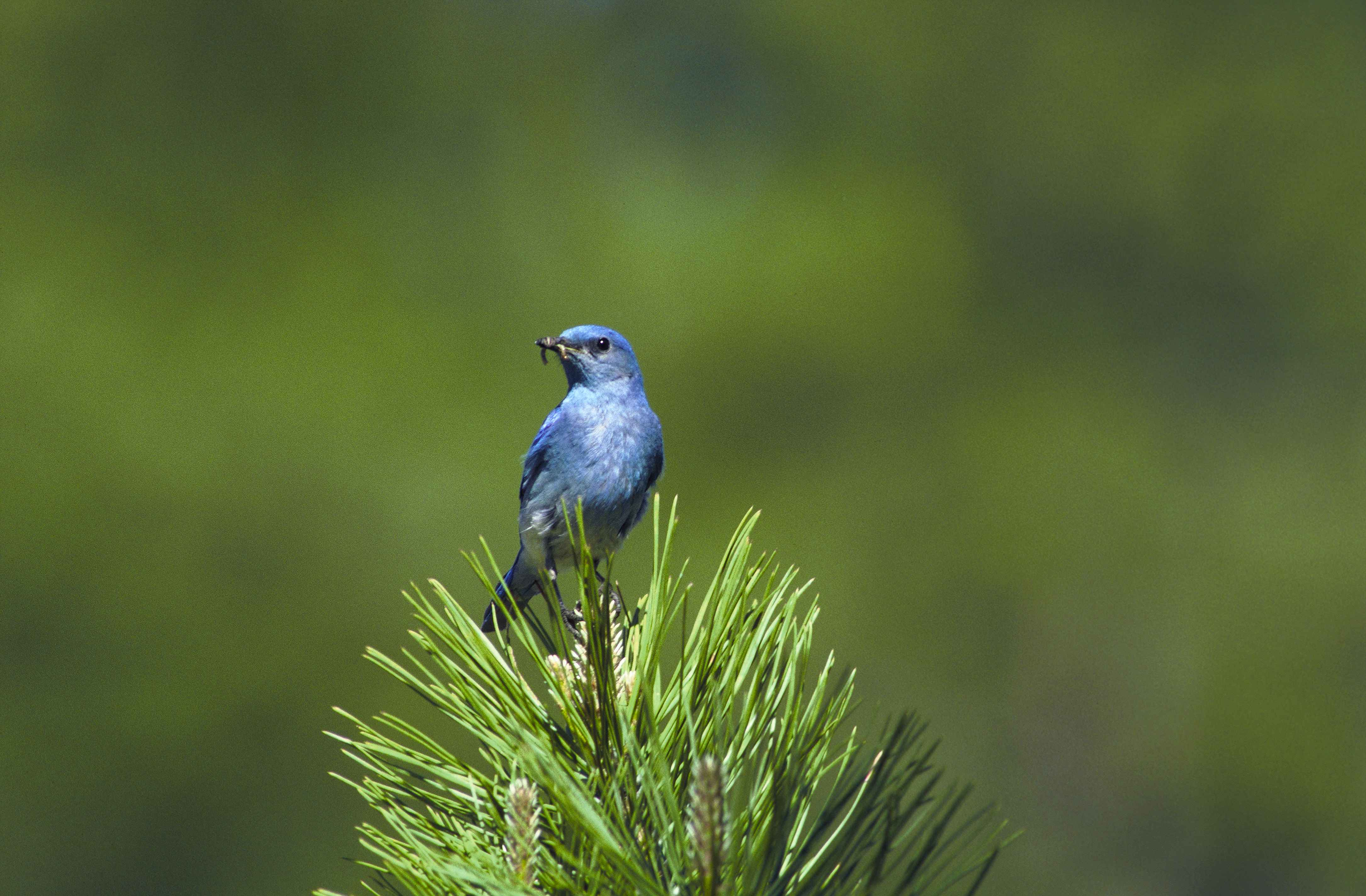 Wallpaper Full Color Hd Free Picture Up Close Mountain Blue Bird Bird Eating