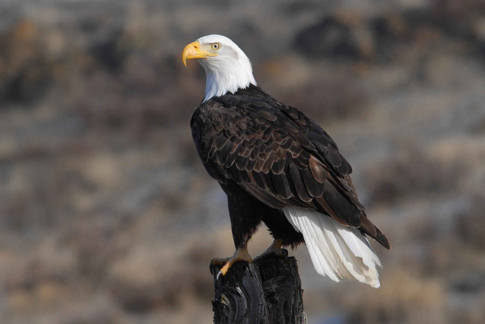 Free Picture Adult Bald Eagle