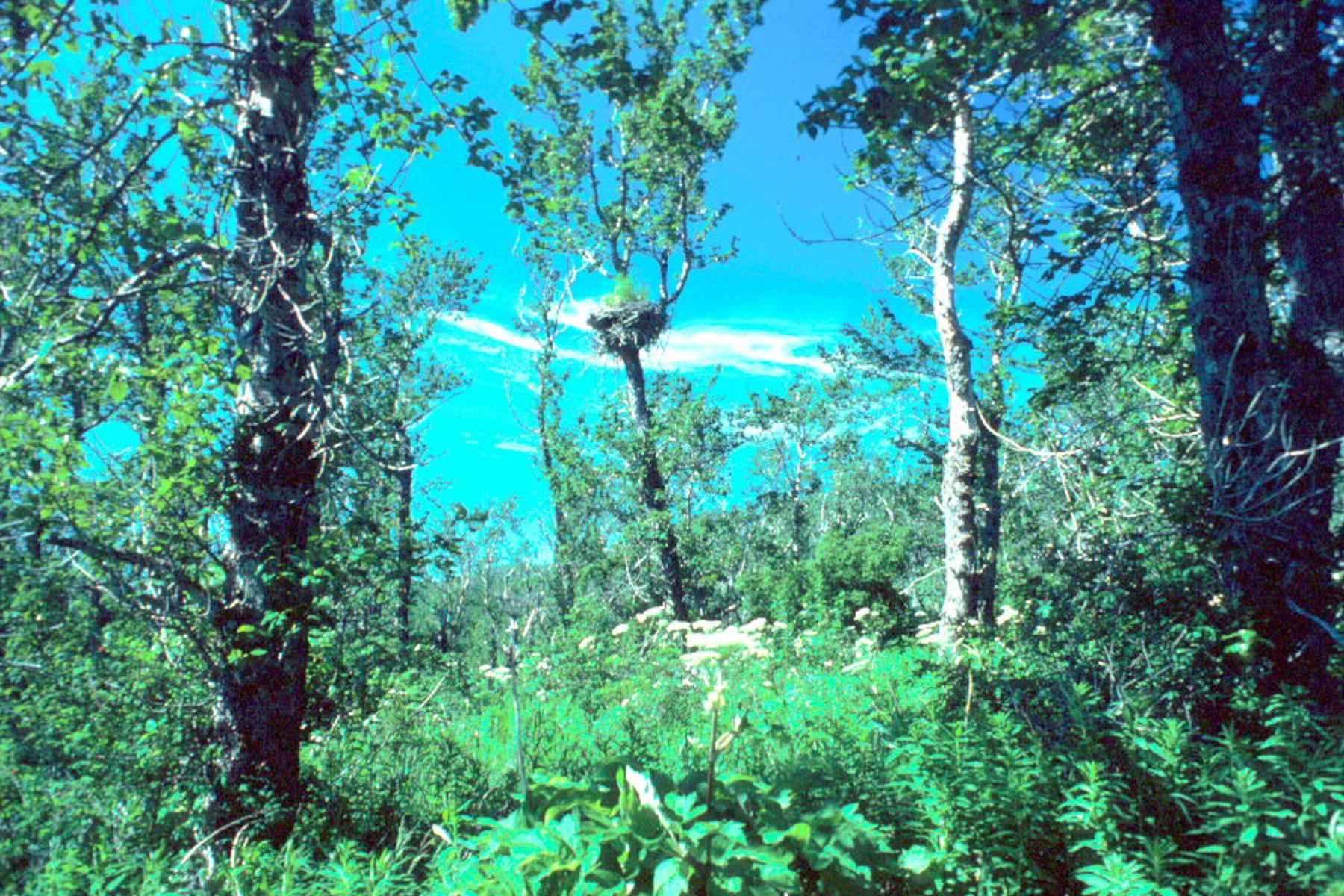 Free Picture Bald Eagle Natural Habitat Eagles Nest Tree