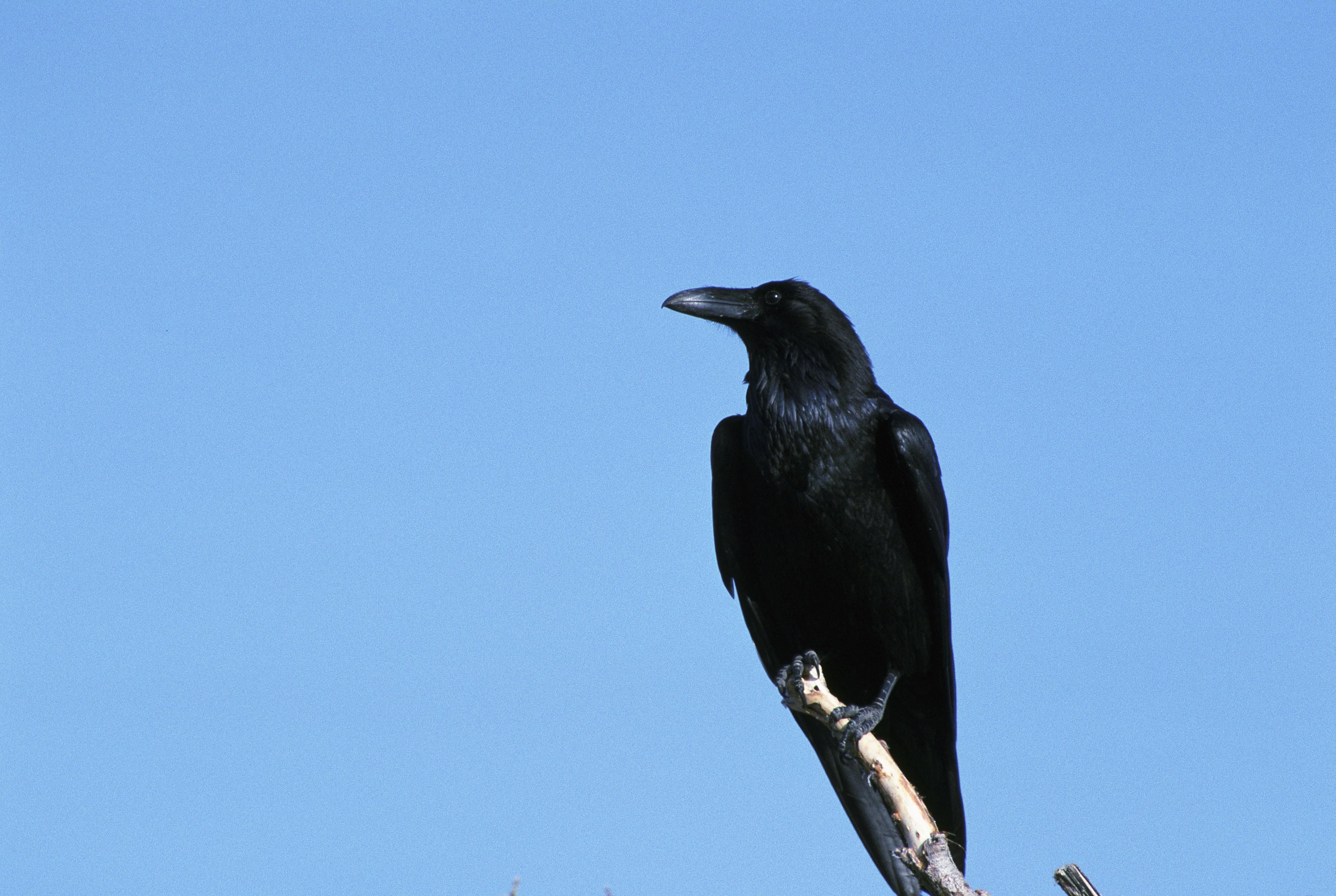Black Animal Print Wallpaper Free Picture Raven Sitting Branch