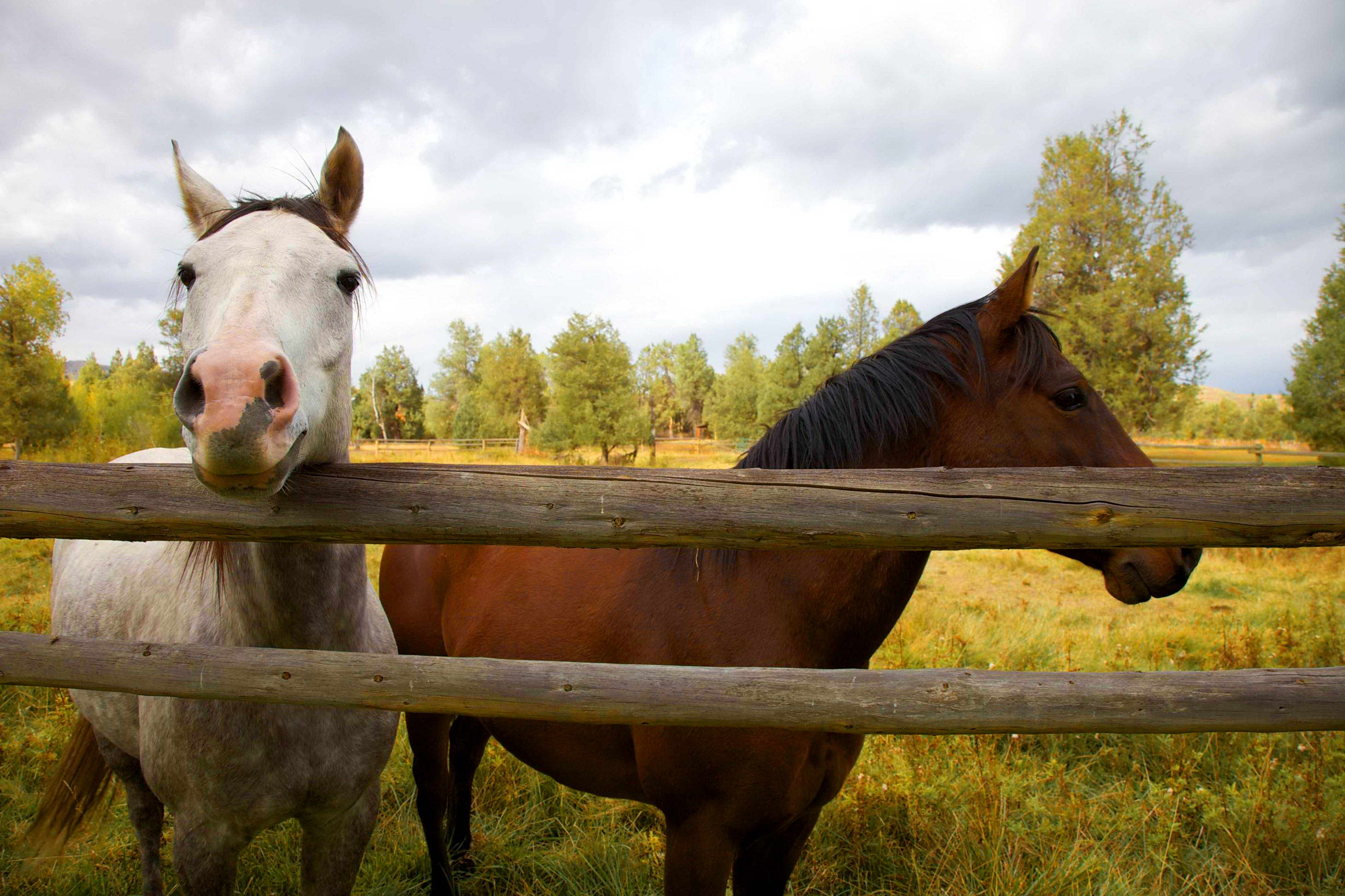 Free picture upclose two horses fence