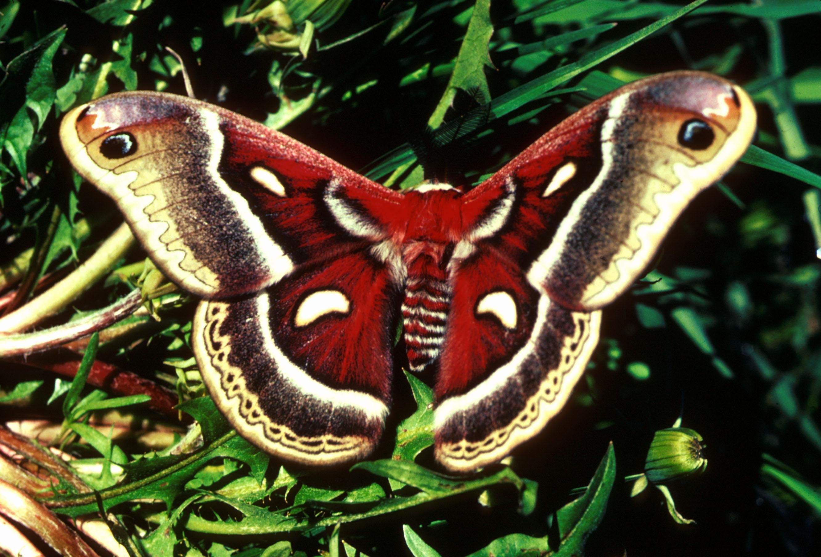 Free picture cecropia moth wings expanded