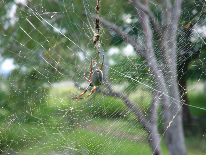 Free picture fat spider