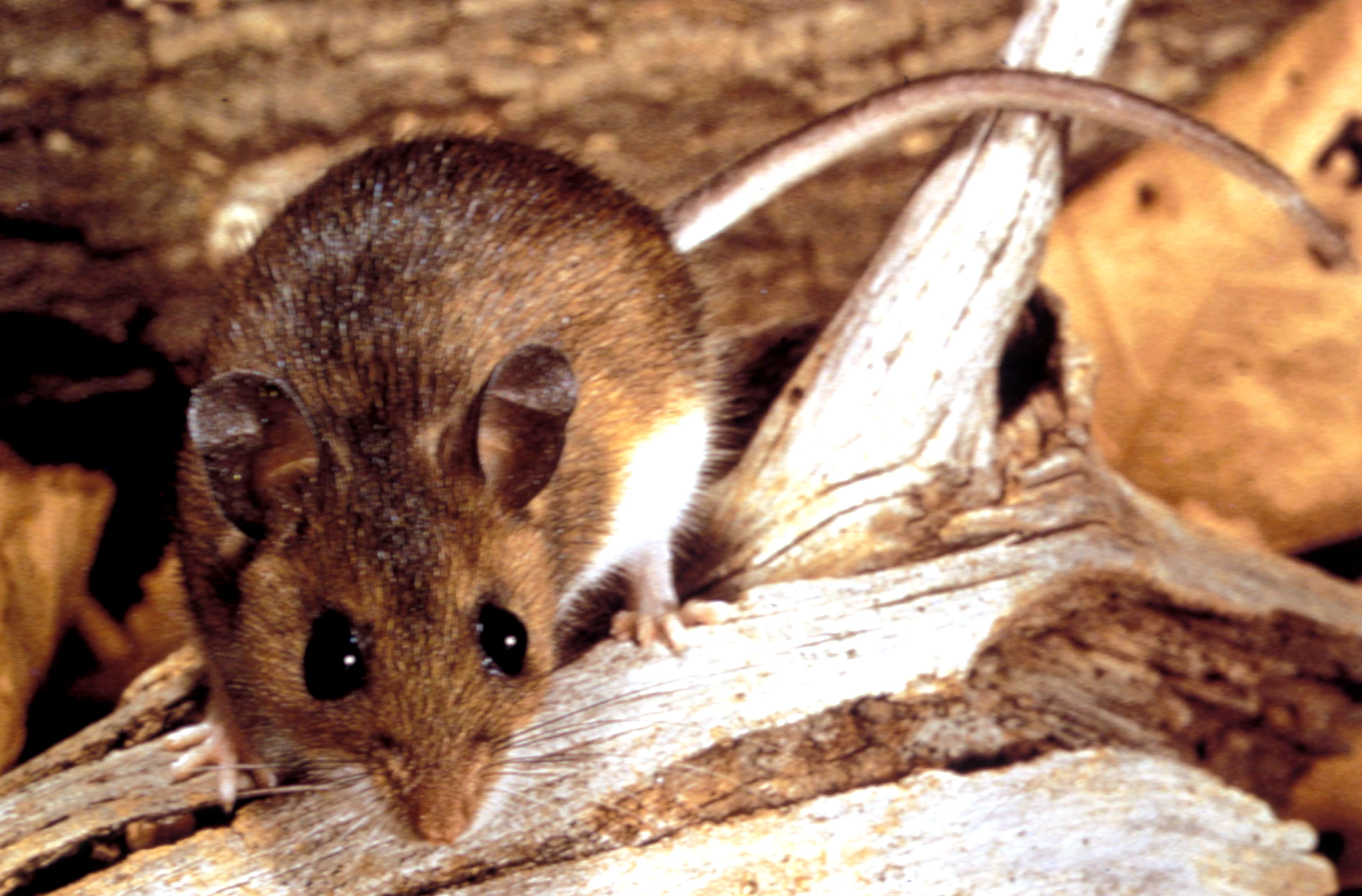 Free picture: deer, mouse, peromyscus maniculatus, reservoir ...