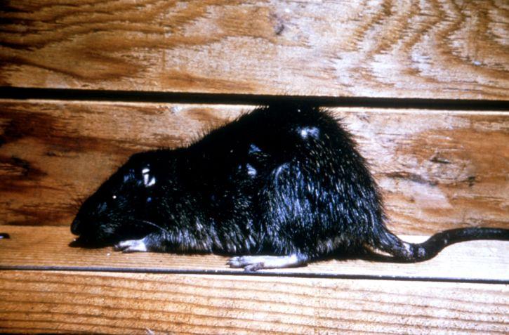 Free picture: norway. rat. rattus norvegicus. brown. rat. house. rat. sewer. rat