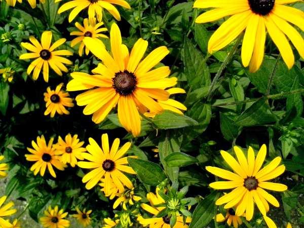 free yellow flowers garden