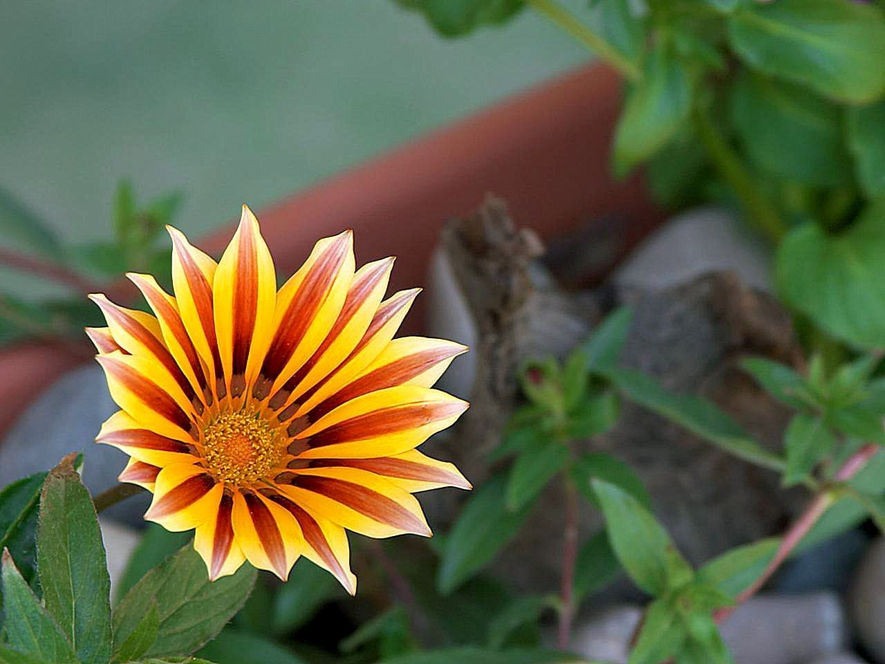 Free Picture Yellow Red Flower Green Leaf