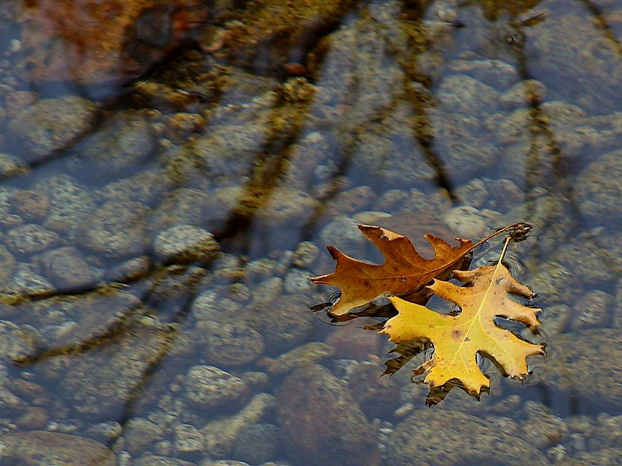 300 Wallpaper Hd Free Picture Leaf Leaves Streams Water Reflections