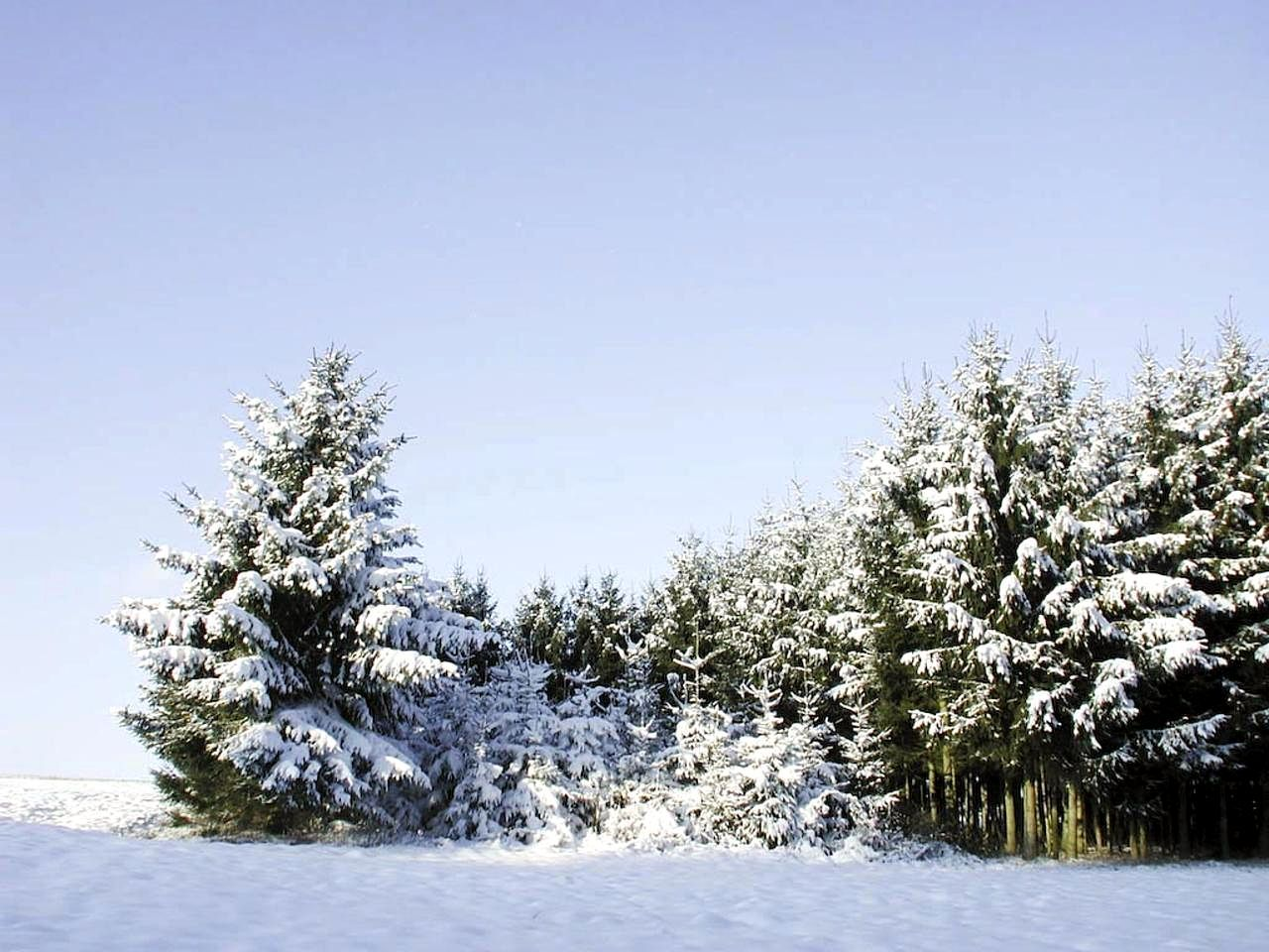Free picture spruce trees covered snow winter time