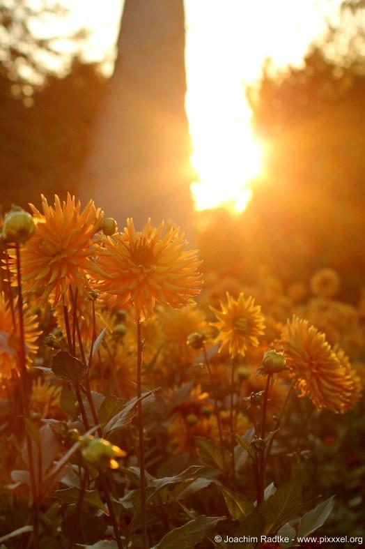 Dahlienfeuer im Britzer Garten (49)