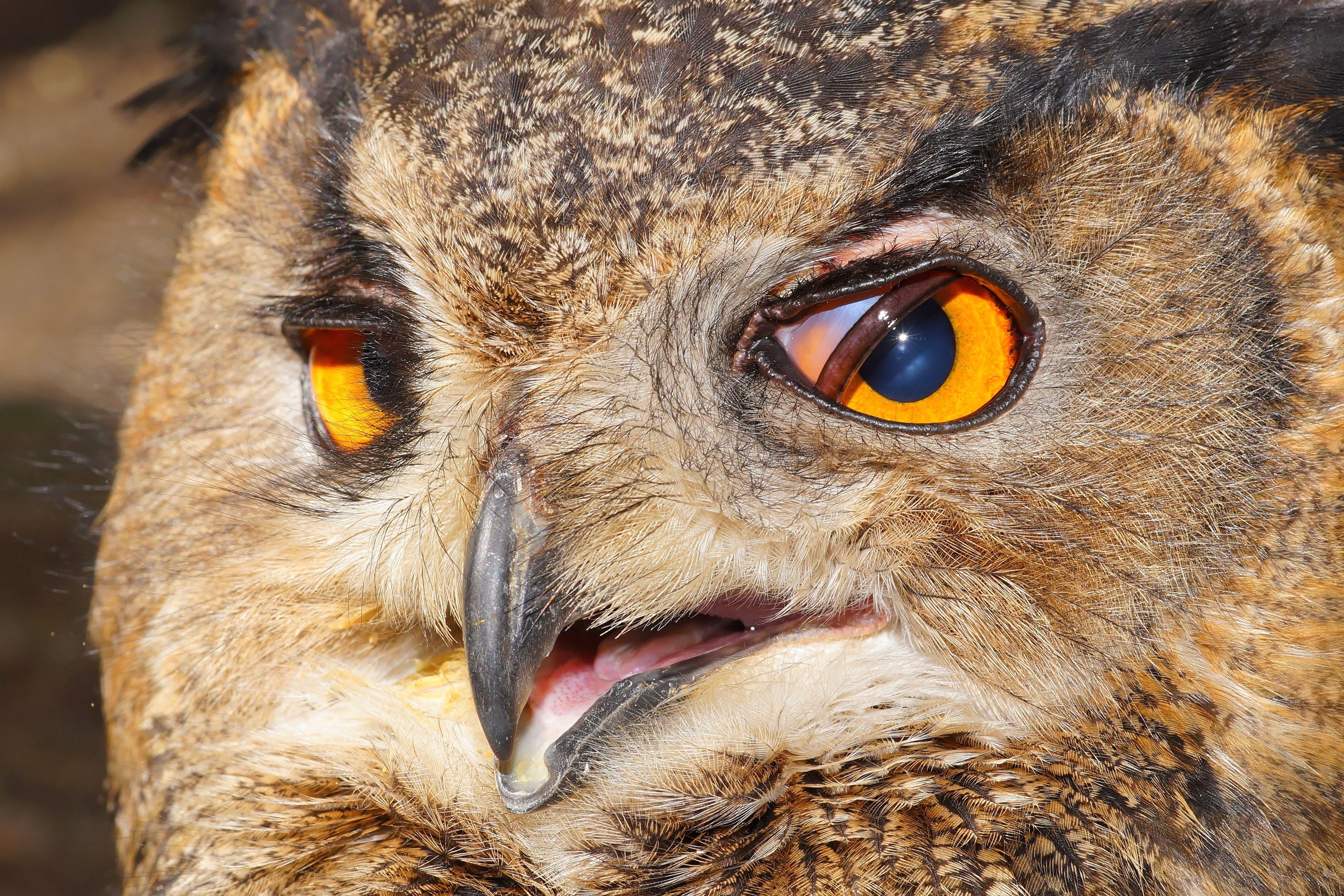 Eagle Owl Eyes Free Image