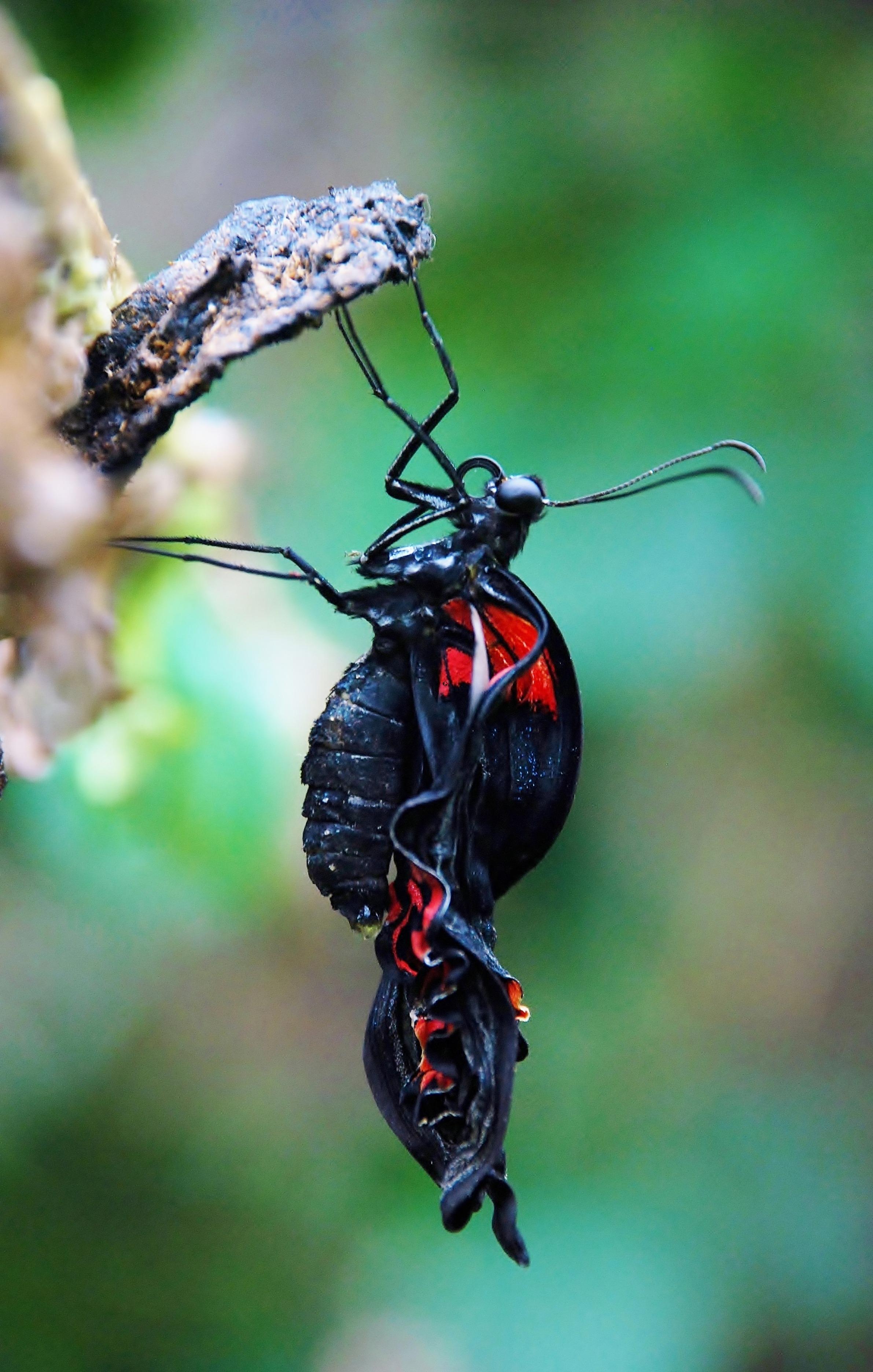 Metamorphosis Of Butterfly Free Image