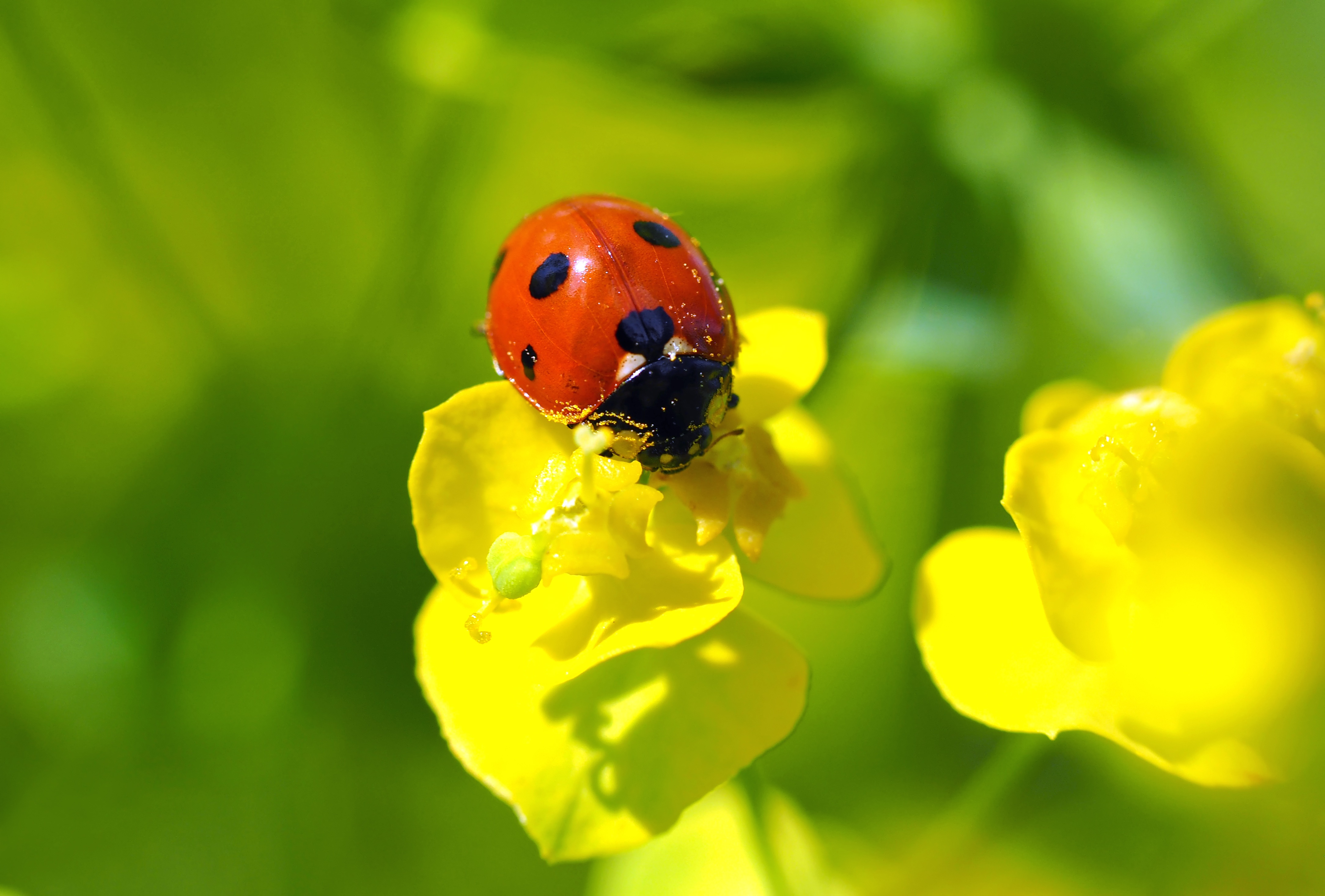 Cute Love Romance Wallpaper Cute Ladybug On A Yellow Flower Free Image