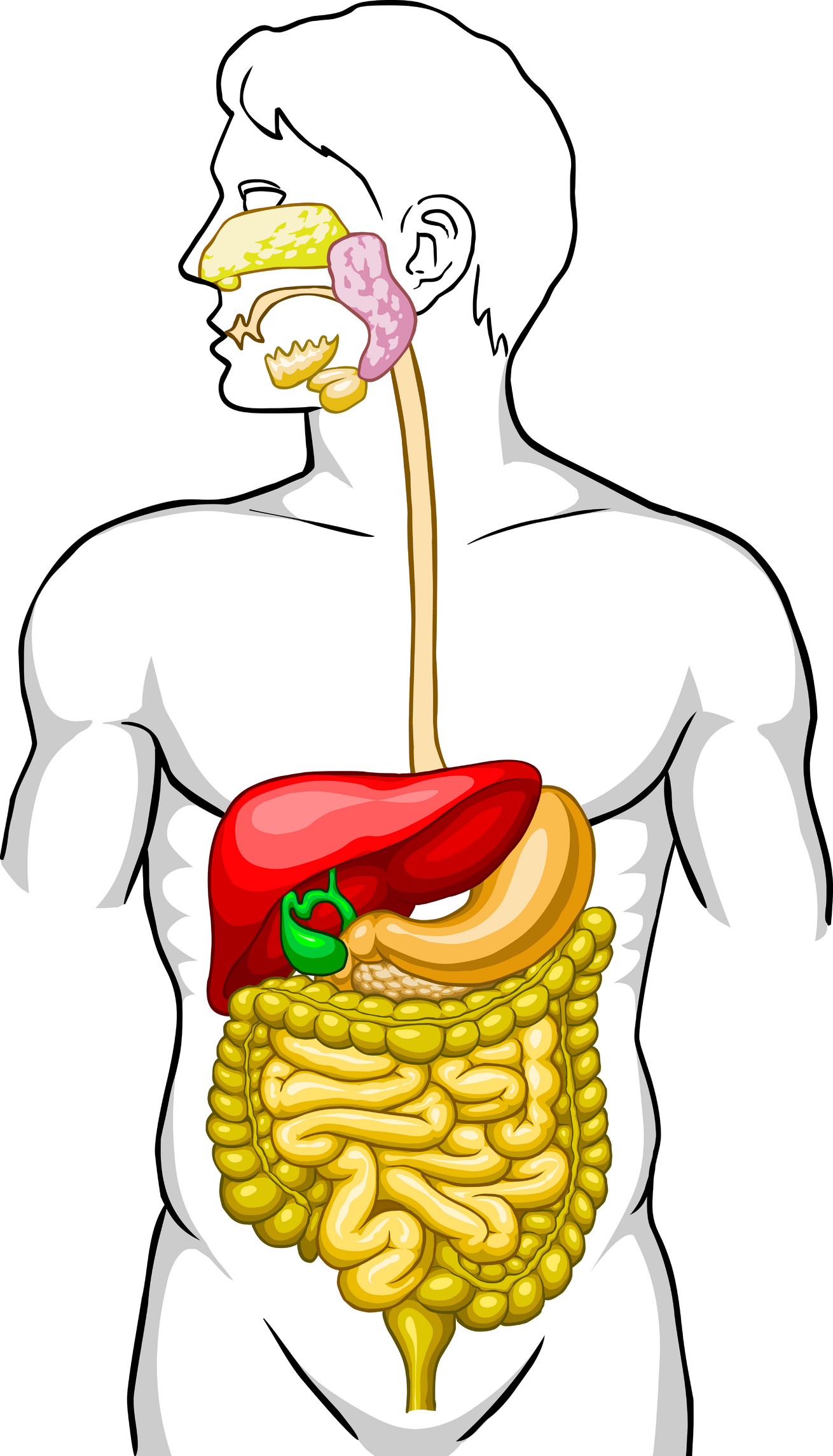 hight resolution of digestive system diagram