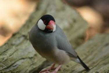 文鳥が換羽でハゲてしまう原因と対策・飼い主が出来ること