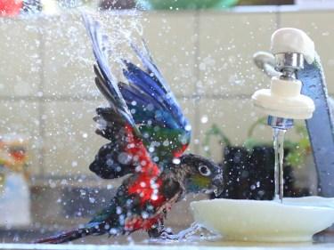インコを水浴びさせる時のおもちゃの必要性と注意点について
