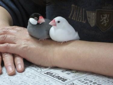 文鳥の餌の時間はいつといつ?餌のあげ方について紹介します