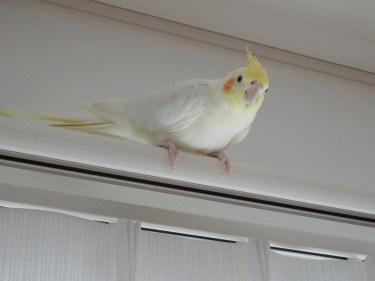 白い羽に黄色の冠羽が魅力。オカメインコのルチノーの値段と特徴
