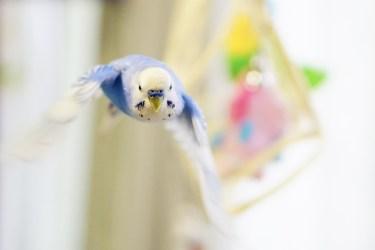 セキセイインコが飛ぶようになる時期と飼い主が注意したいこと