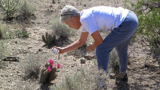 Admiring the colorful spring bloom of a hedgehog Cactus.