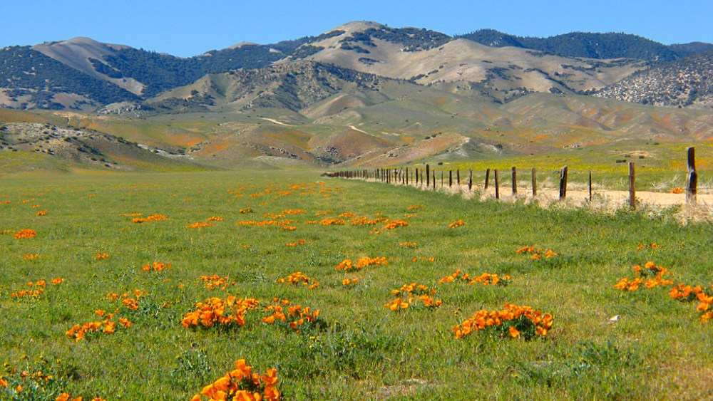 California Poppies near Highway 138 in Neenach, California.