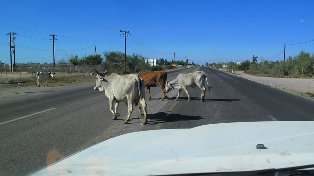 Cows, in no particular hurry, crossing Mexico Highway 1 near Ciudad Constitución, Baja California Sur.