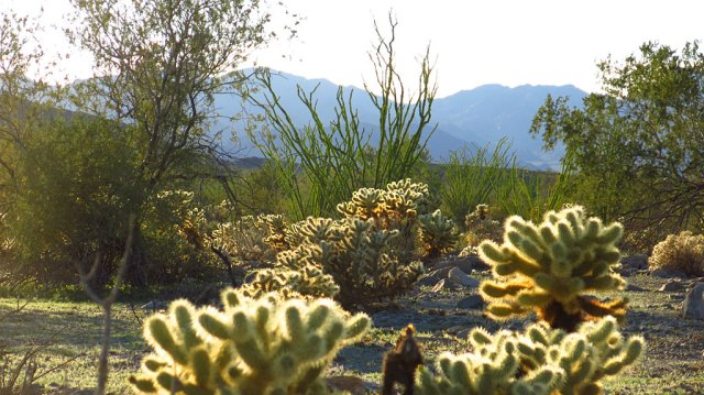 Happy mesquite, cholla, and ocotillo on the south side of Joshua Tree National Park.