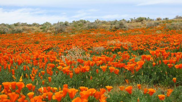 Poppies and sage share the slope-side.