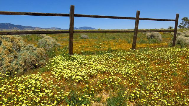 Desert Dandelion co-exists with sage and fences.
