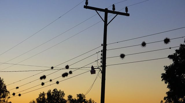 Epiphytic plant balls on the wires of Ciudad Insurgentes.