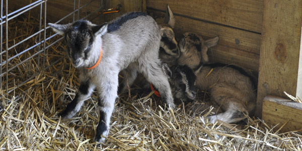 baby goats java and jericho_blog_12